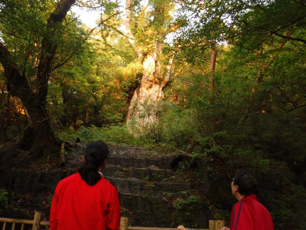 朝日に染まる縄文杉