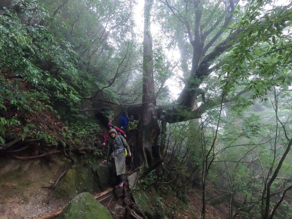 ヤマグルマのトンネル