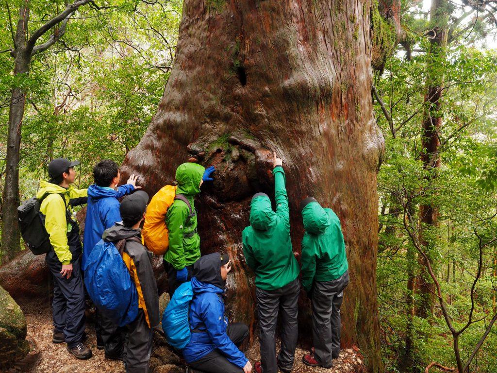 縄文杉コースの大きな屋久杉