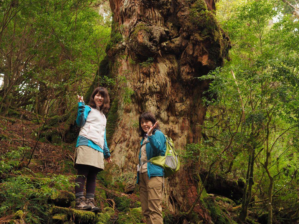 太忠岳コースの釈迦杉
