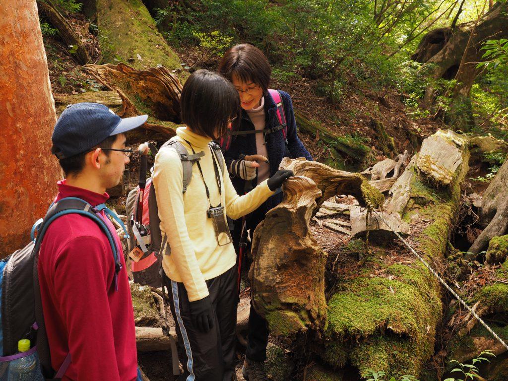 縄文杉コースの屋久杉の年輪