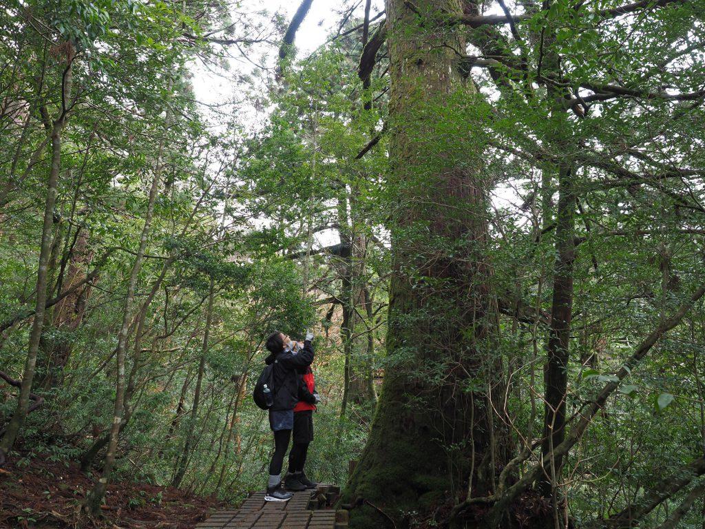 屋久杉の巨木