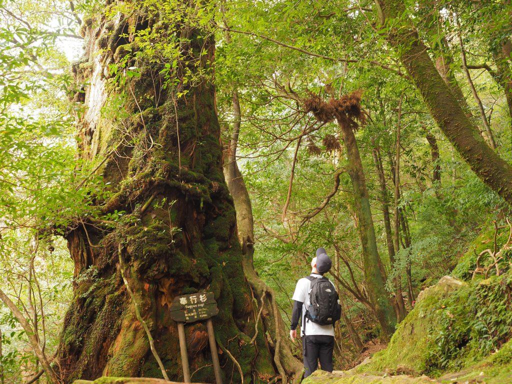 白谷雲水峡の奉行杉