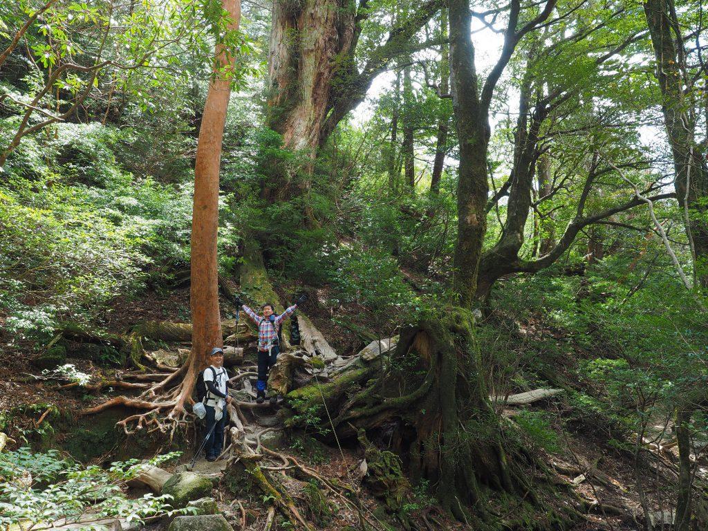 屋久杉の巨木の森