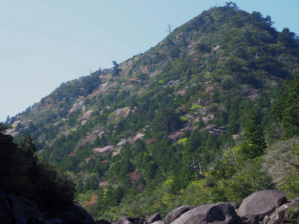 小杉谷のヤマザクラ