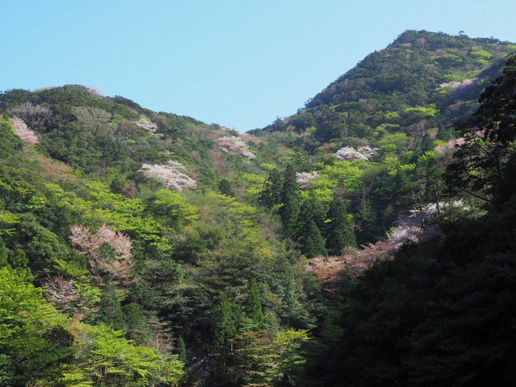 荒川登山口のヤマザクラ