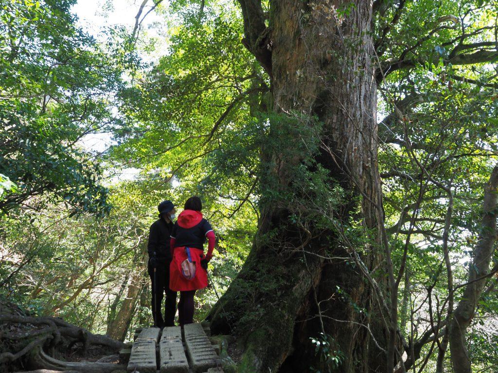 巨大な屋久杉