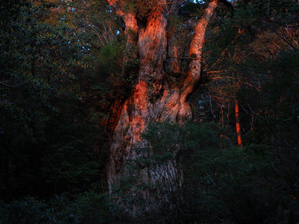 朝日 縄文杉