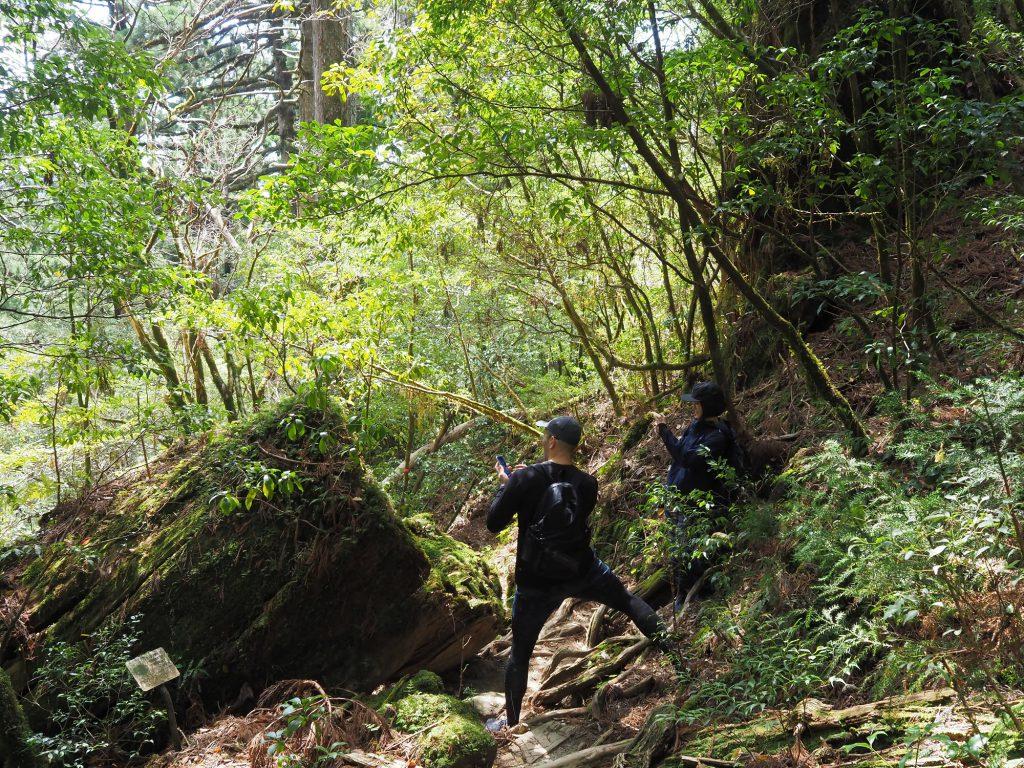 210分コースの屋久杉の倒木