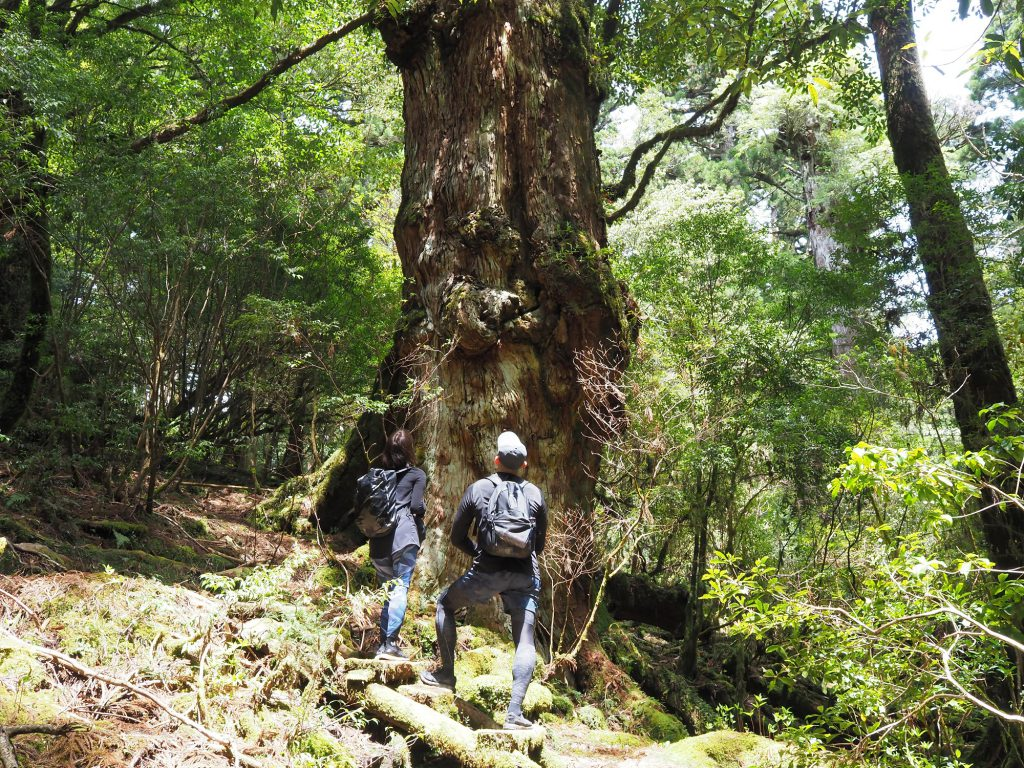 天文の森の釈迦杉