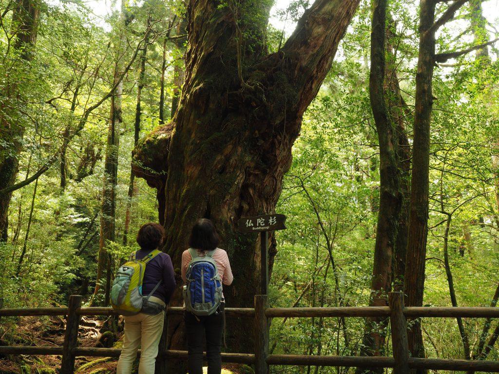 ヤクスギランドの仏陀杉