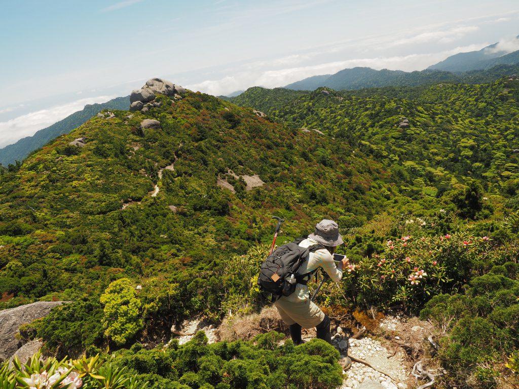 黒味岳付近のヤクシマシャクナゲを撮影