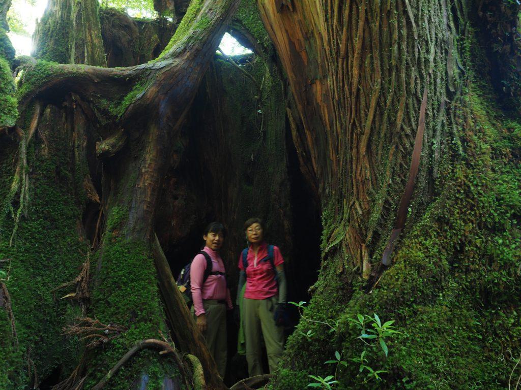 ヤクスギランドの大きな屋久杉の切り株
