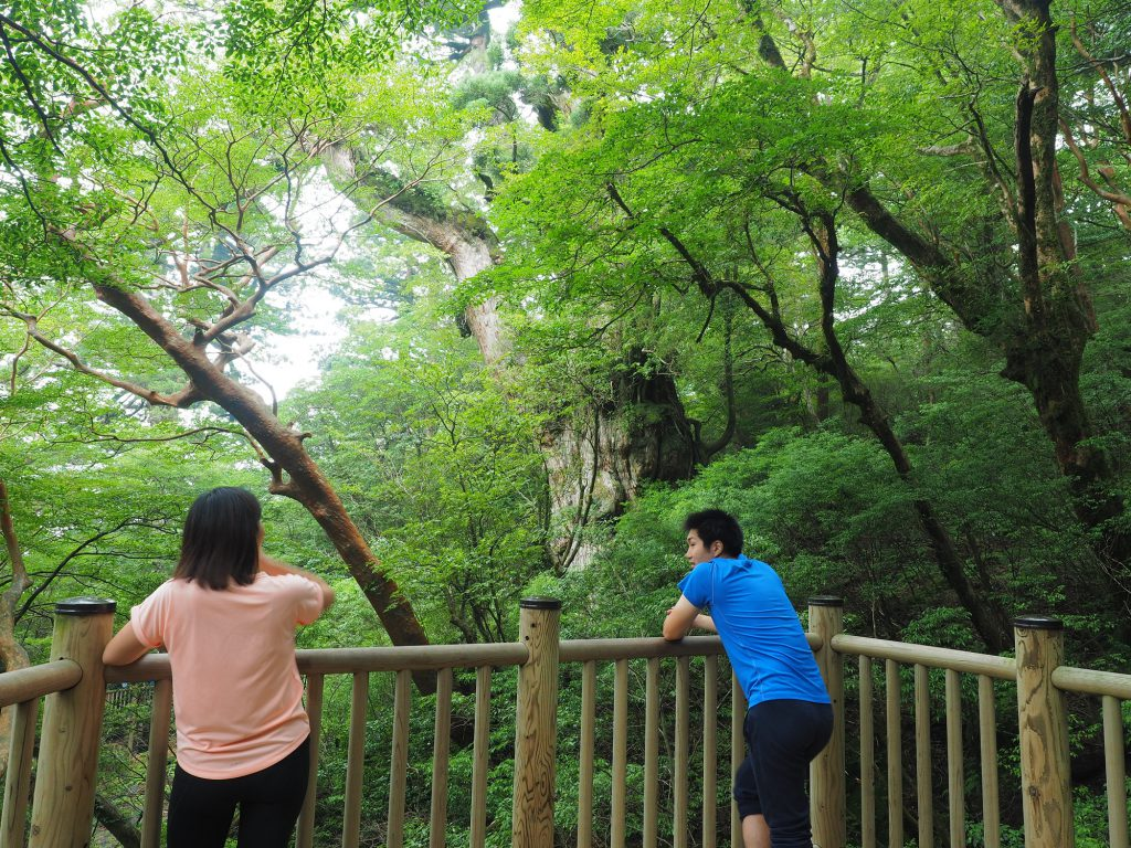 デッキから縄文杉を眺める