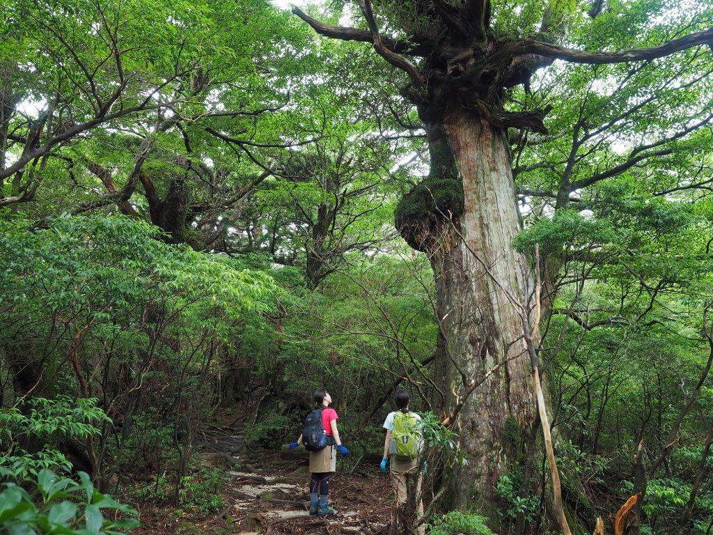 淀川登山口近くの屋久杉の森