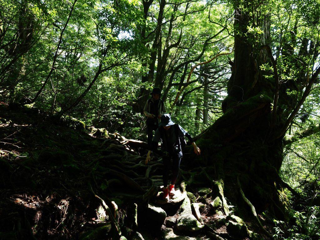 縄文杉までの登山道を歩く