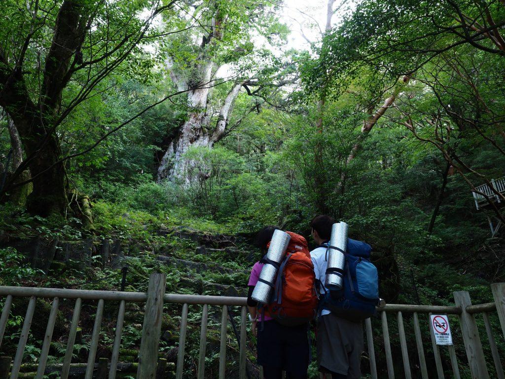 縄文杉を眺める