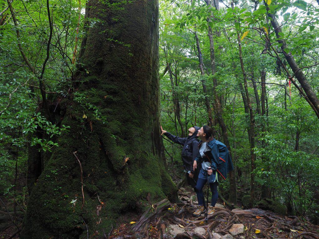 大きな屋久杉のとなりに立つ