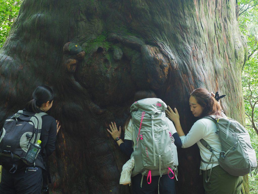 大きな屋久杉に触る