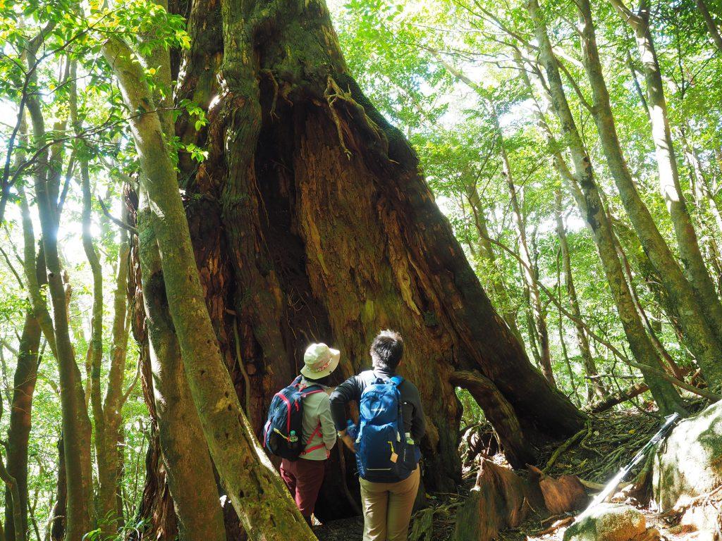 大きな二代杉