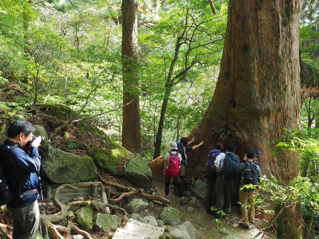 大きな屋久杉を写真撮影