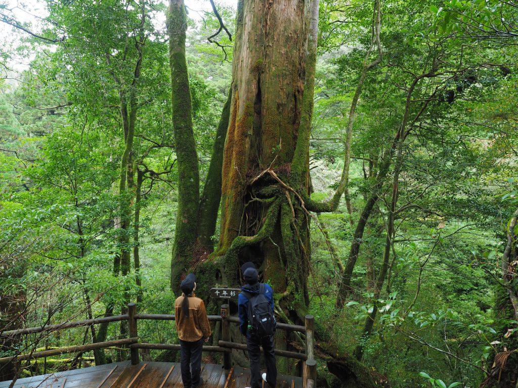 ヤクスギランドの千年杉